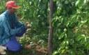 Emater Juru 60 produtores aumentam renda cultivando maracuja 1.jpg